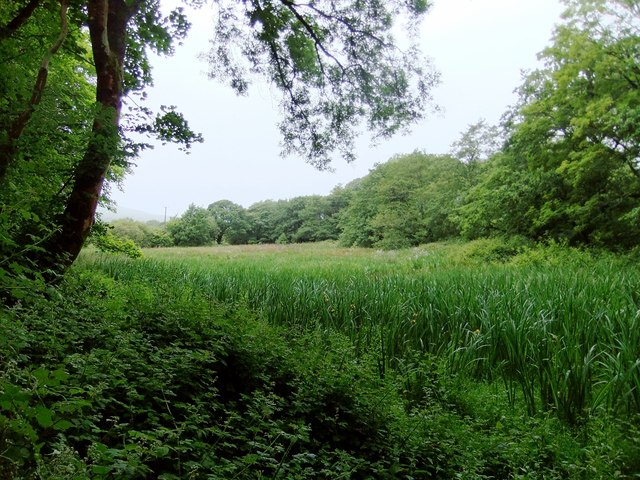 Phragmites marsh near Ysgarwen