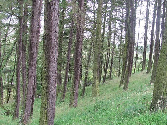 Larch wood