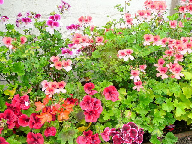 A fine collection of Pelargoniums