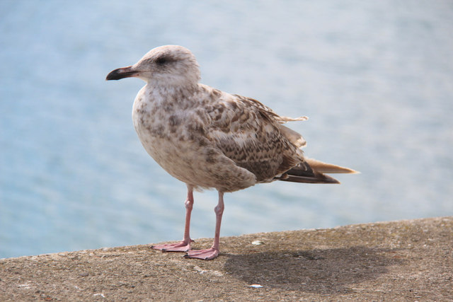 Young Herring Gull, Howth, Ireland