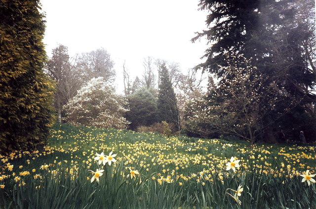 Daffodils at Killerton, Devon