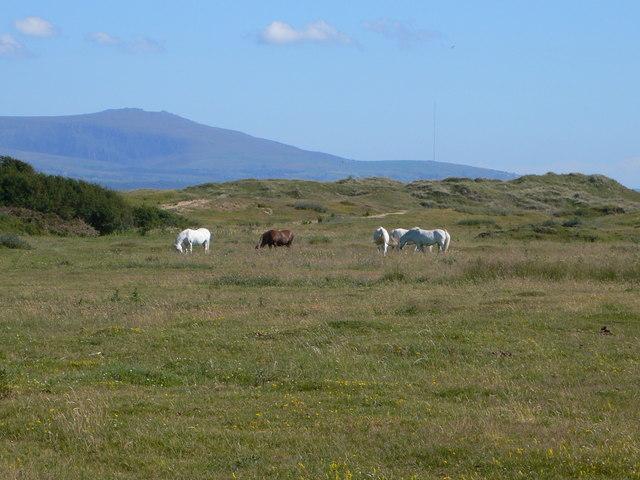 Horses grazing on Newborough Warren