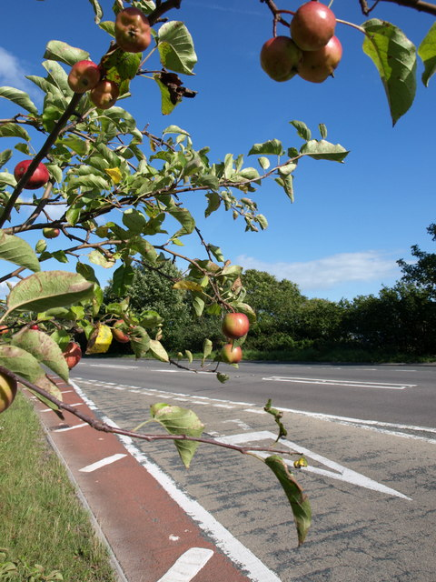 Apples by the Axbridge bypass
