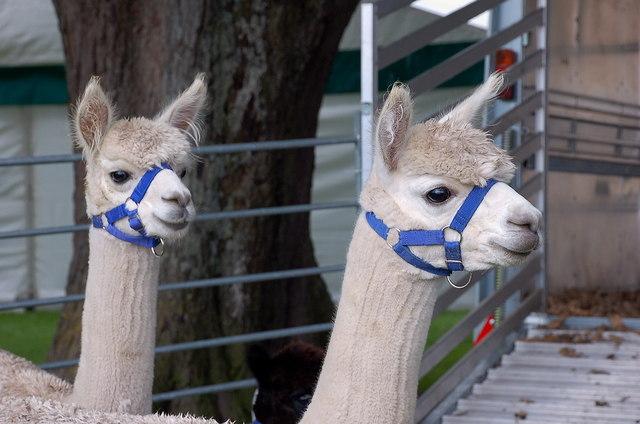 Alpacas at Peebles Agricultural Show