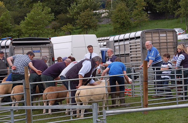 Judging sheep, Peebles Agricultural Show