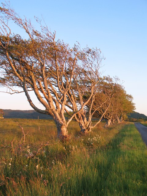 Wind sculpted beeches