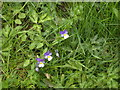 NO6097 : Heartsease (Viola tricolor), Bridge of Potarch by Stanley Howe