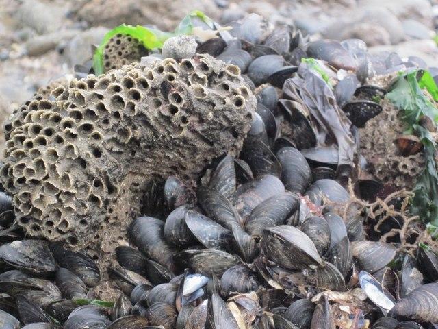 Riff Llyngyr y Diliau / Honeycomb Worm Reef