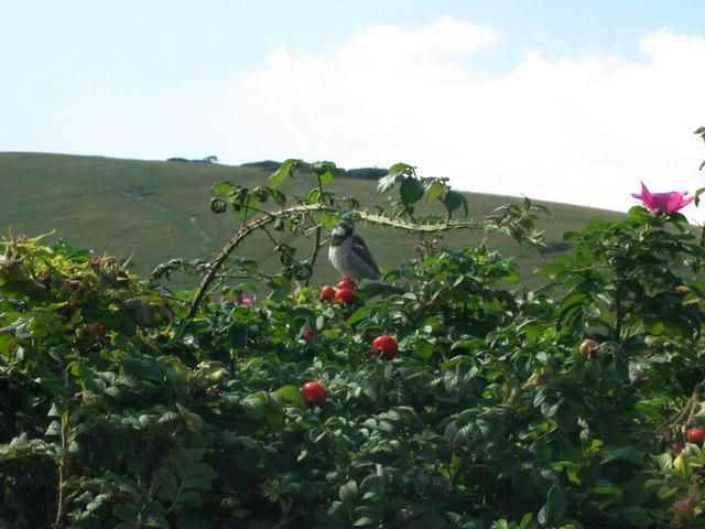 Sparrow on a rose bush