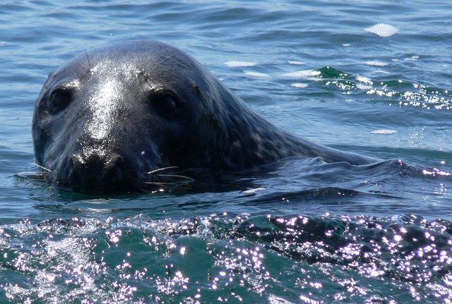 Seal at Graig Lwyd