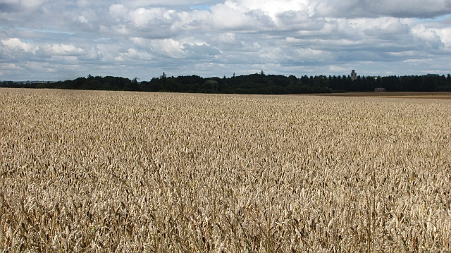 Wheat field, Beal