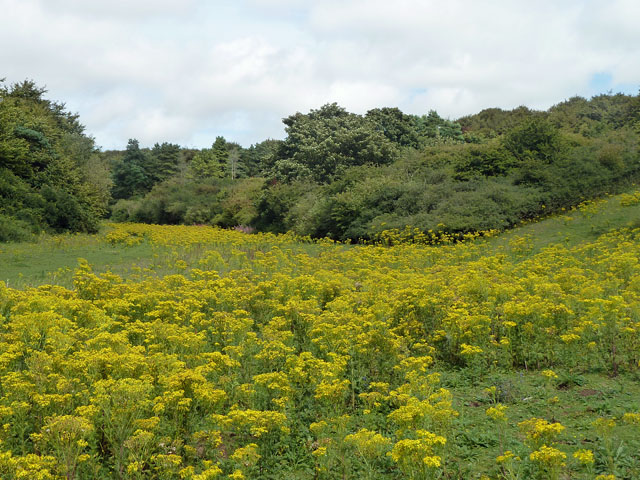 Ragwort in Charleston Bottom