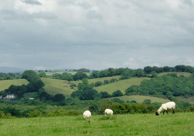 Grazing east of Llwyn-y-Groes, Ceredigion