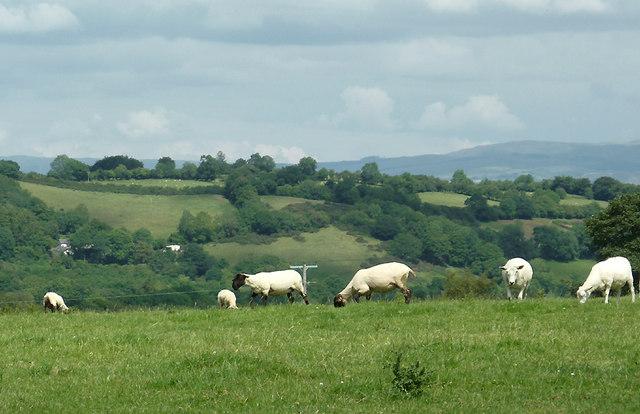 Sheep grazing east of  Llwyn-y-Groes, Ceredigion