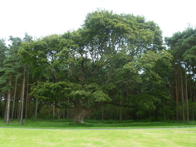 Sycamore Tree, Dunglass Estate