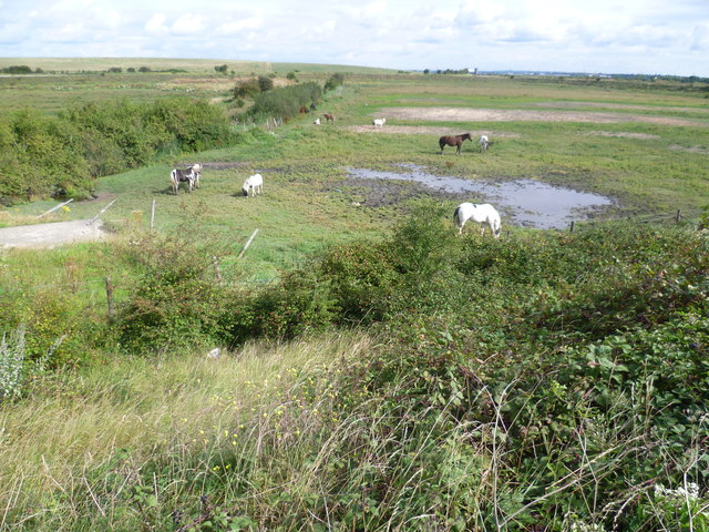 Horses on the marshes