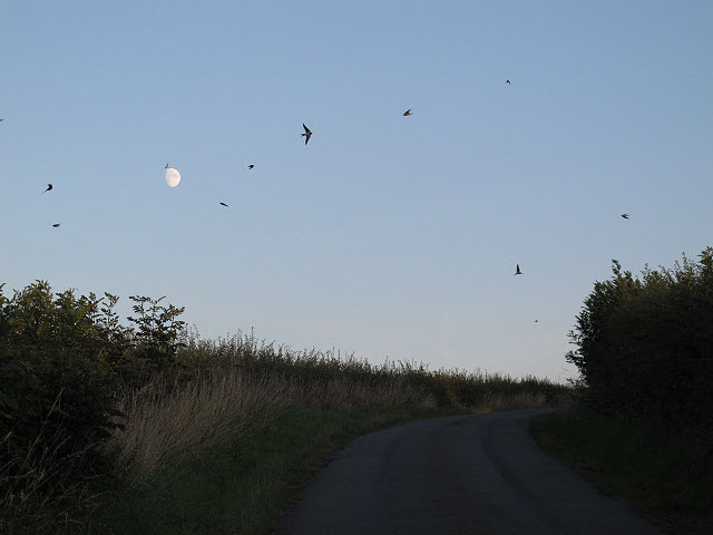 Swallows in front of the moon