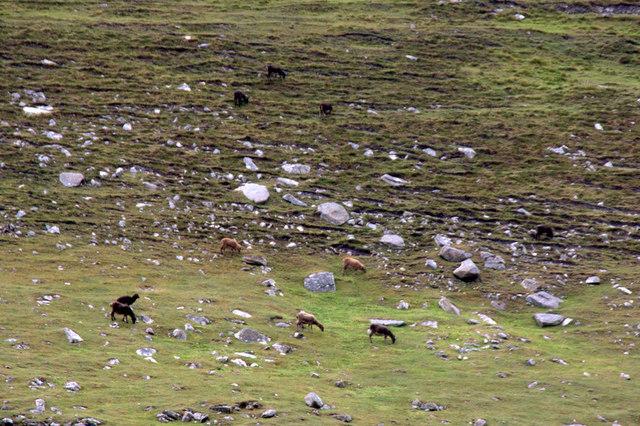 Soay Sheep on the flanks of Oisebhal, St Kilda