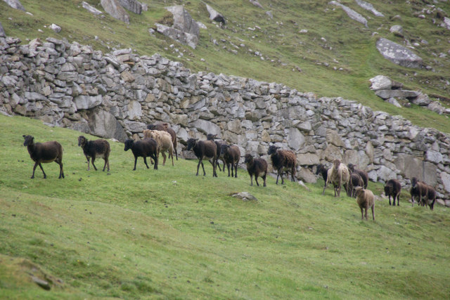 Soay Sheep, Village Bay, St Kilda