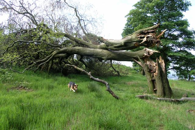 Wind-blown beech tree
