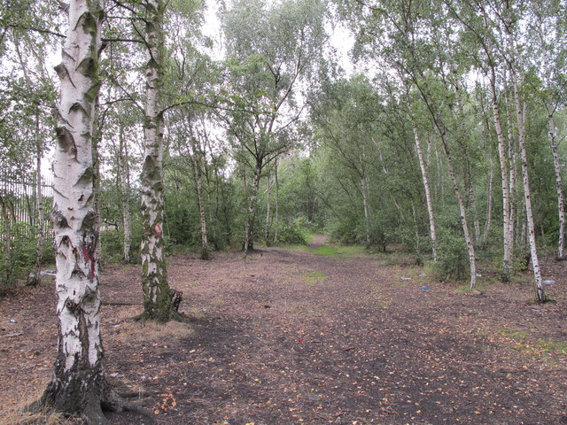 Silver birch trees between the railway and canal