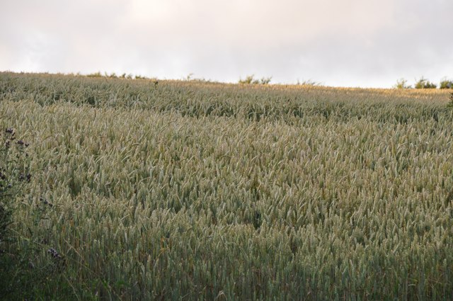 Mid Devon : Crops in a Field