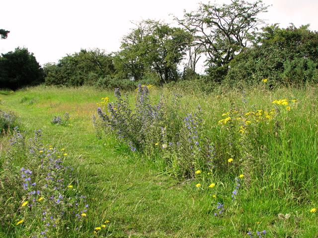 Wild flowers beside footpath on the playing field, Eyke