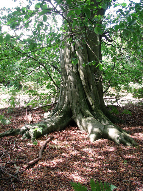 Ancient beech tree beside Minsmere Road