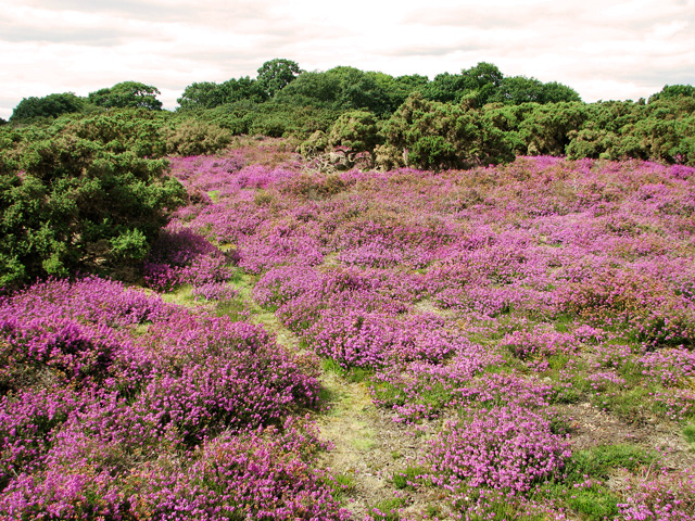 A sea of purple, Westleton Heath