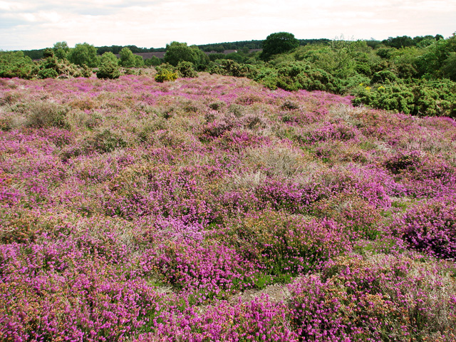 Heather and gorse on Westleton Heath