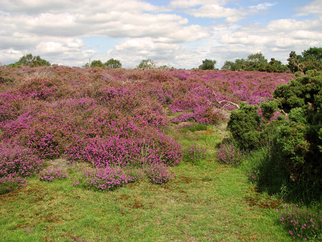 Purple heather, Westleton Heath
