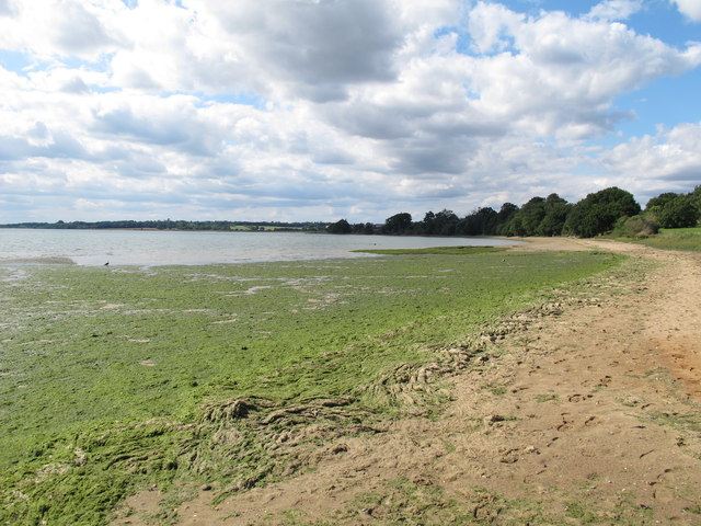 Algae on the foreshore
