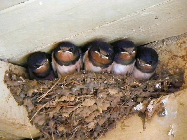 Swallows at Levisham