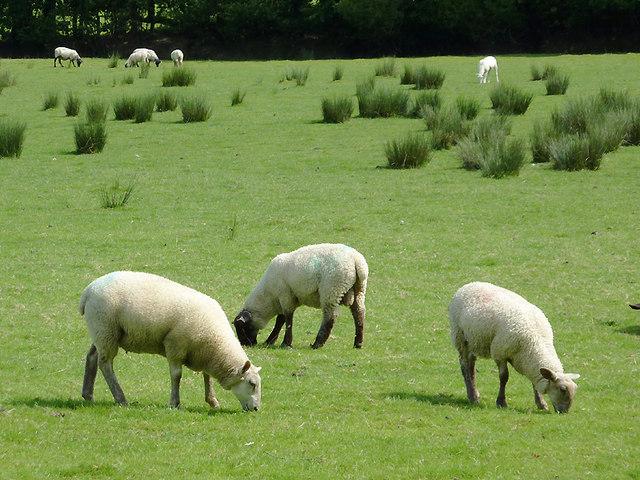 Sheep grazing near Capel Betws Lleucu, Ceredigion