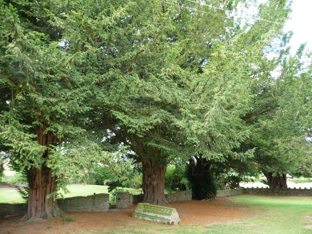 Big old yew trees