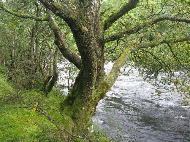 Oak tree by the Garbh Uisge