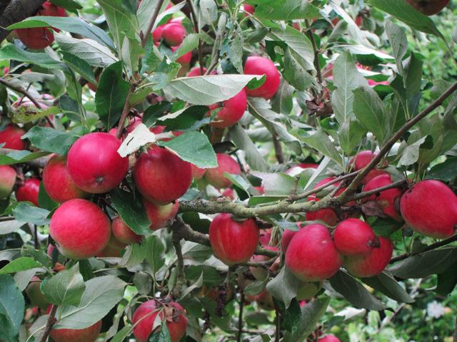 Pearmain apple tree