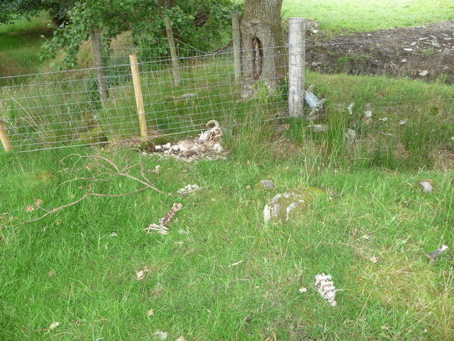 Remains of a sheep trapped in fencing