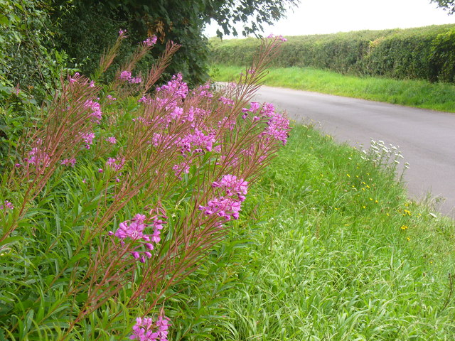 Fireweed by Old Alresford