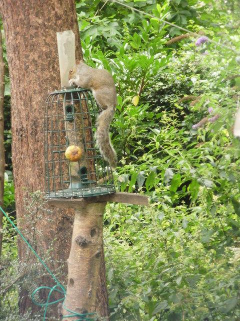 Grey squirrel on a bird feeder