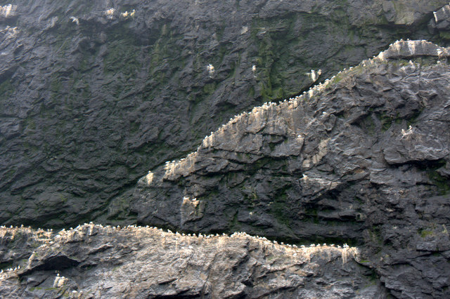 Gannets on Stac Lee, Boreray, St Kilda