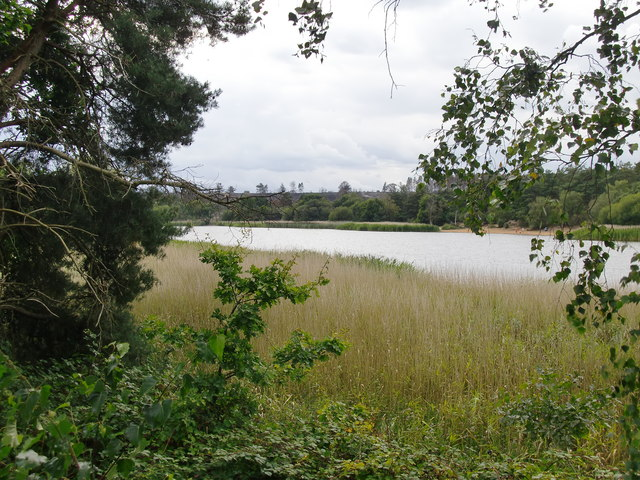 Reed-bed on the eastern shore of Frensham Little Pond