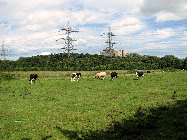 Cattle grazing by Sizewell power station