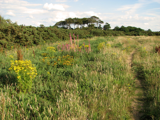 Ragwort and willowherb, Wiveton Downs