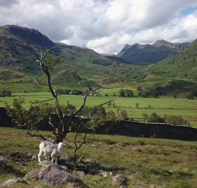 White Herdwick by the Greenburn track