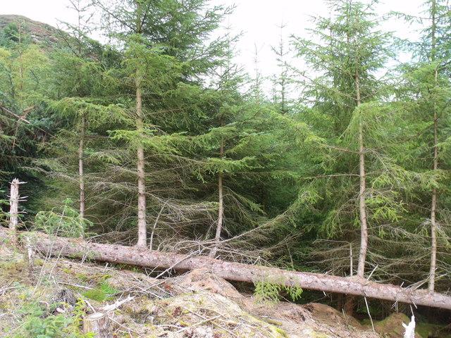 Felled nursery tree in Loch Ard Forest near Aberfoyle