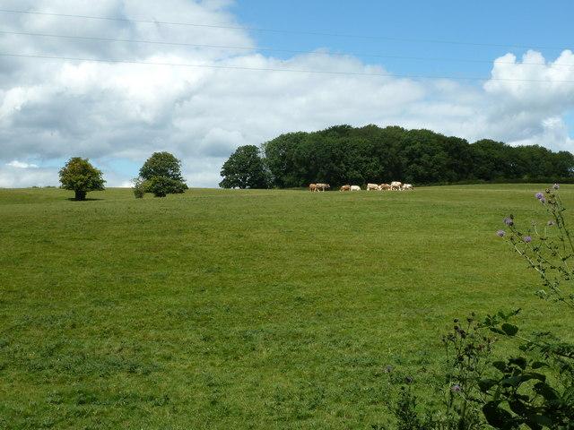 Cattle in field alongside Park Lane