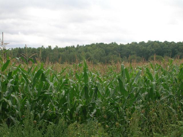 Crop field off Hurst Lane