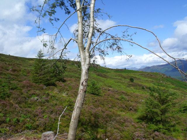 Lone rowan on edge of clearfell in Loch Ard Forest near Aberfoyle