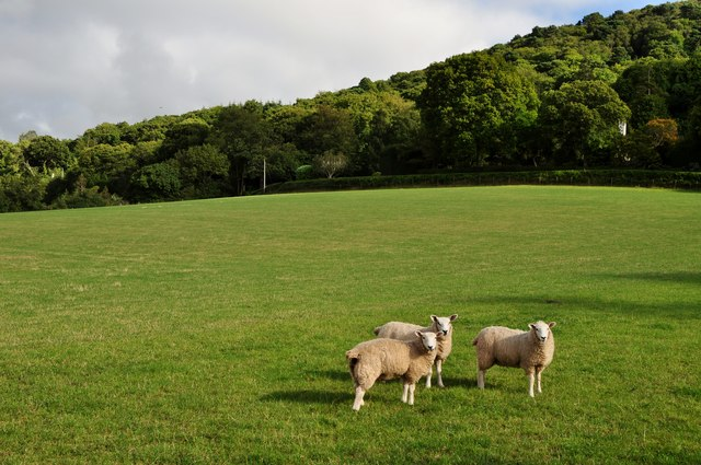 West Somerset : Three Sheep in a Field